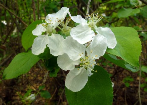 7. Apple Blossoms