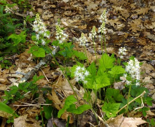 7. Foamflowers