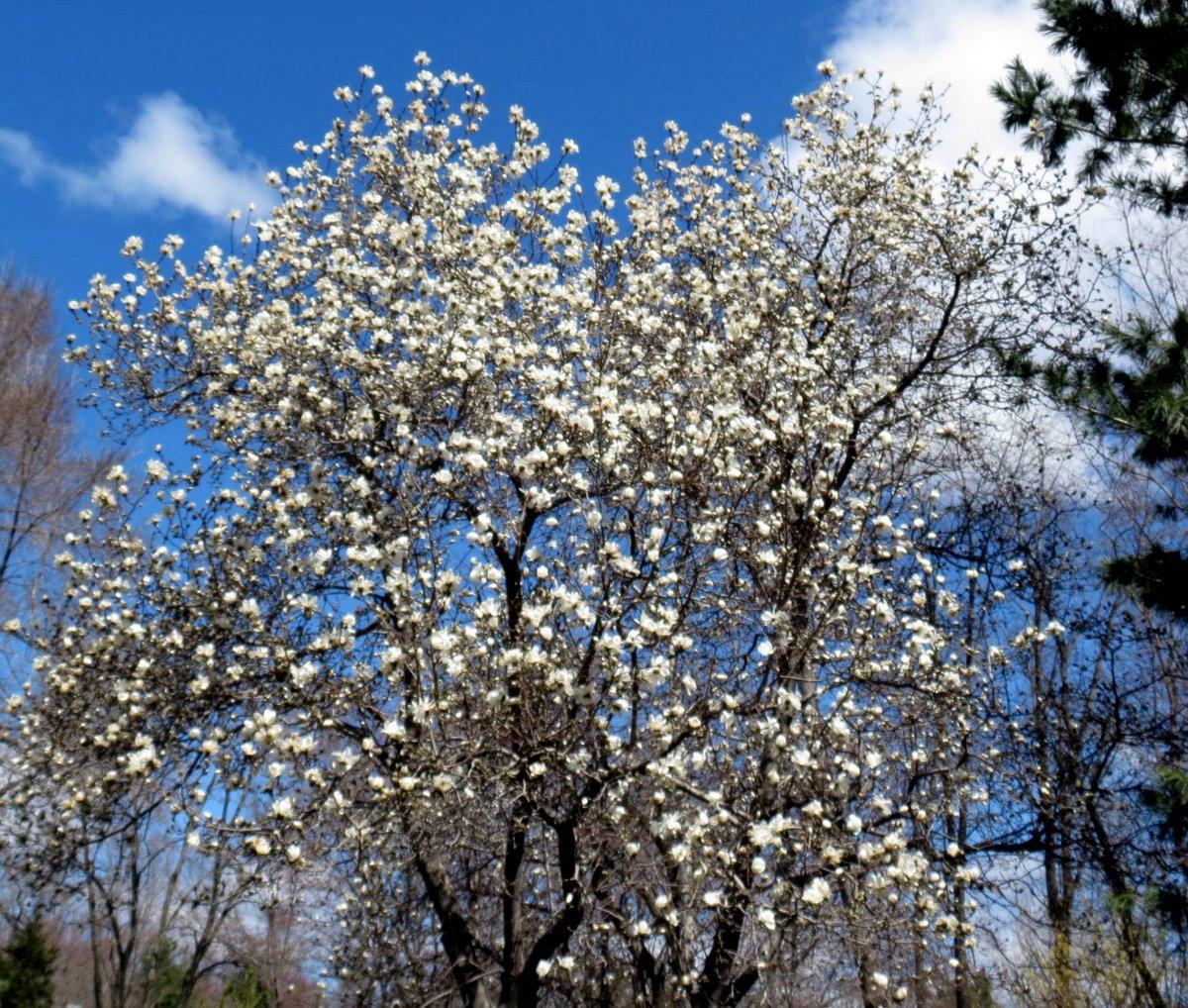 7. Magnolia