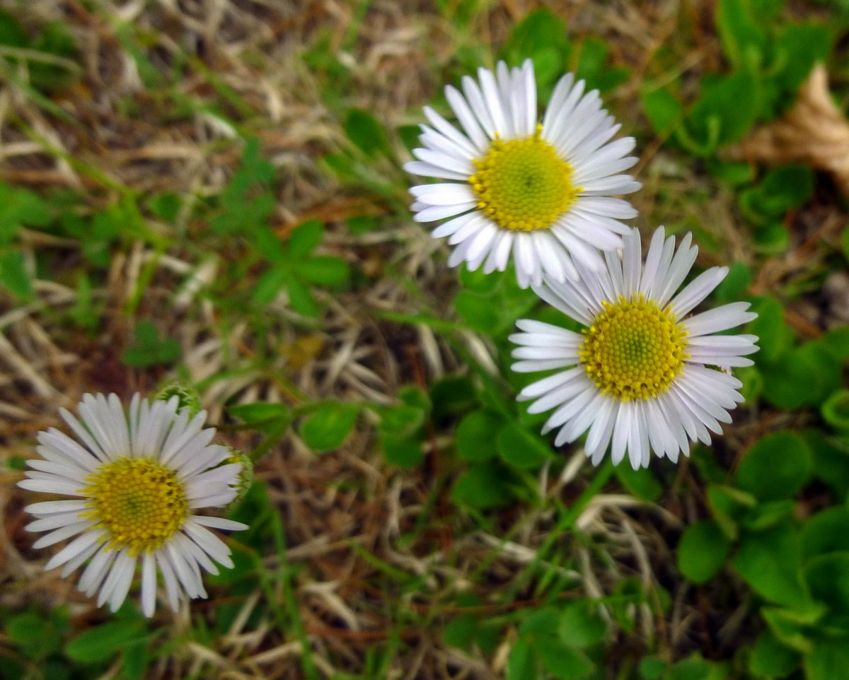 More mid may flowers new hampshire garden solutions robins plantain erigeron pulchellus is the earliest of the fleabanes to bloom in this area its inch and a half diameter flowers are larger than many izmirmasajfo Choice Image