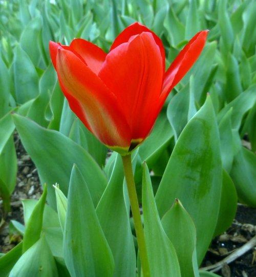 8. Red Tulip