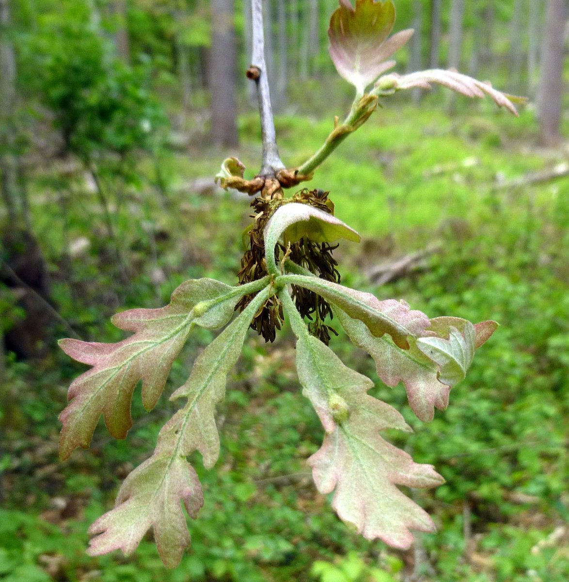 9. New Oak Leaves