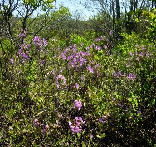 9. Rhodora and Bog Laurel