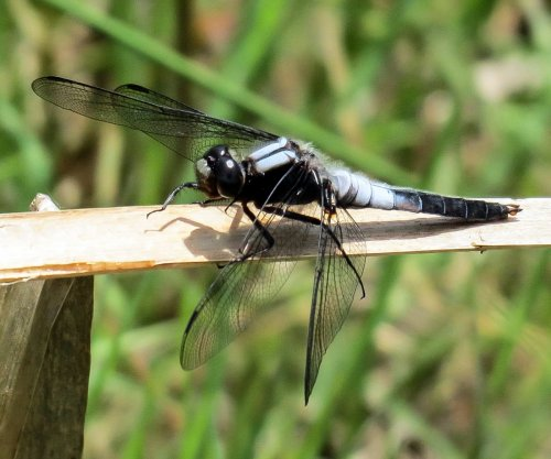 1. Chalk Fronted Corporal Dragonfly