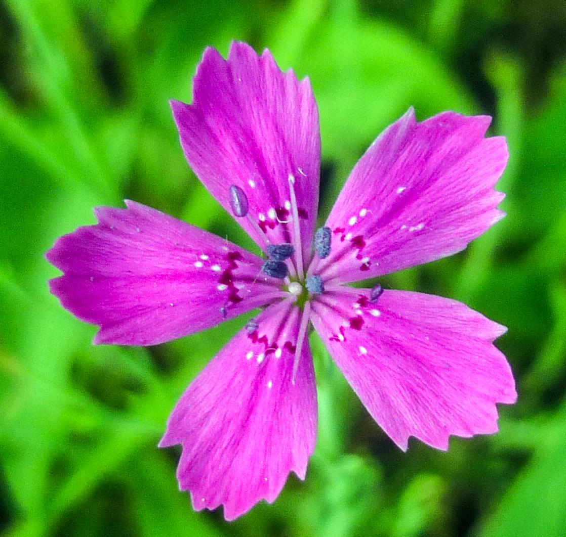 1. Maiden Pink