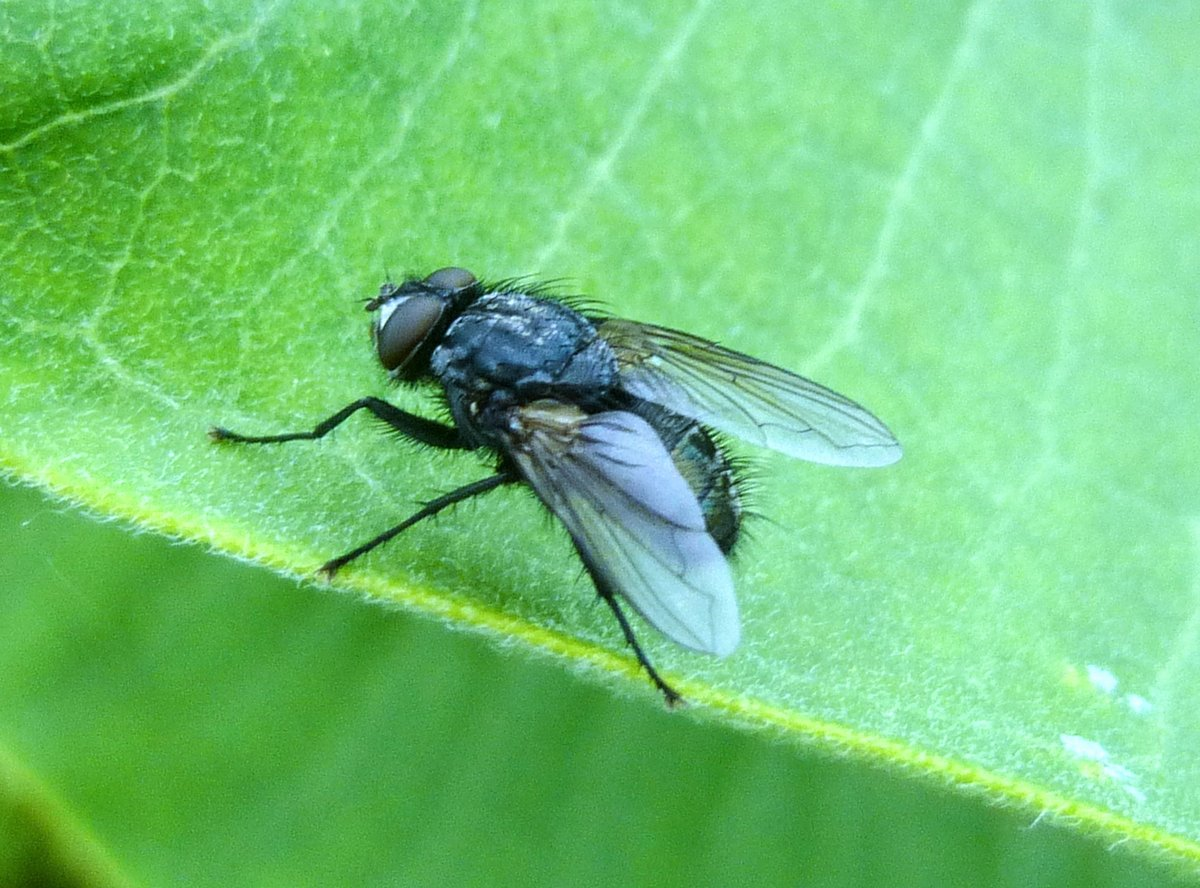 1. Tachinid Fly