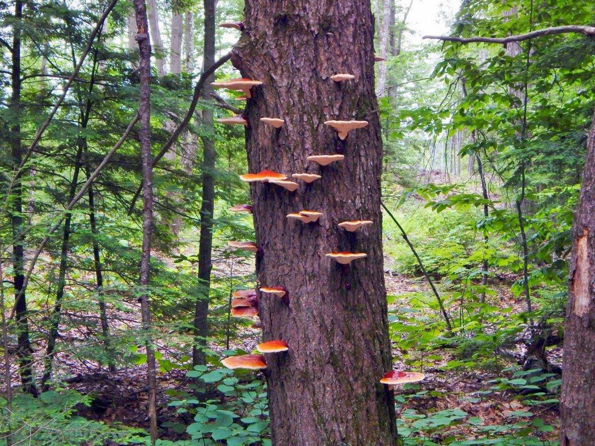 10. Hemlock Varnish Shelf Fungi