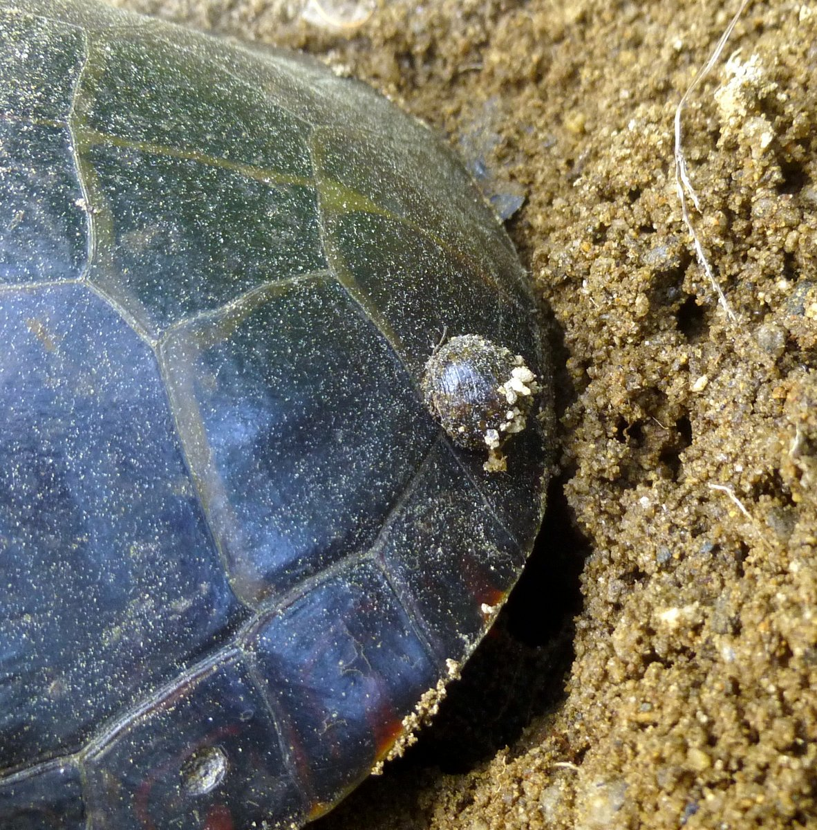 11. Turtle Shell Growth