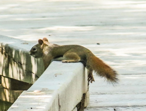 13. Red Squirrel