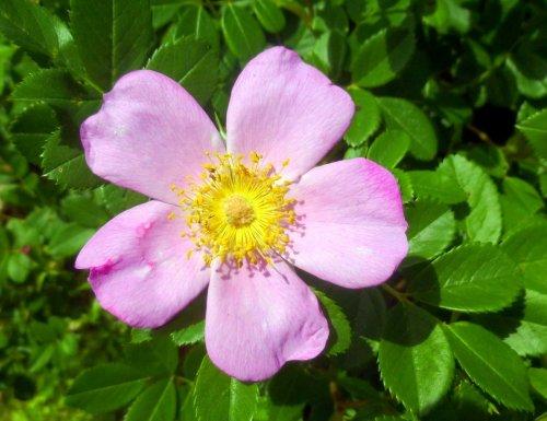 14. Rose