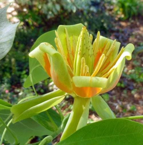 14. Tulip Tree Blossom