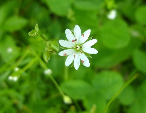 15. Star Chickweed