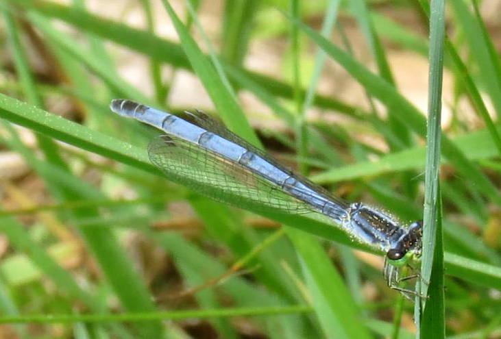 15. Unknown Blue Damselfly