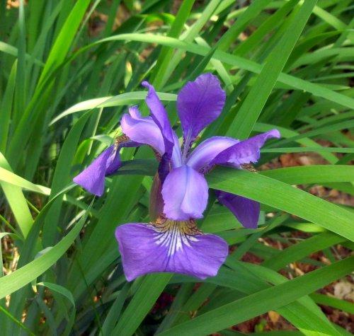 16. Siberian Iris