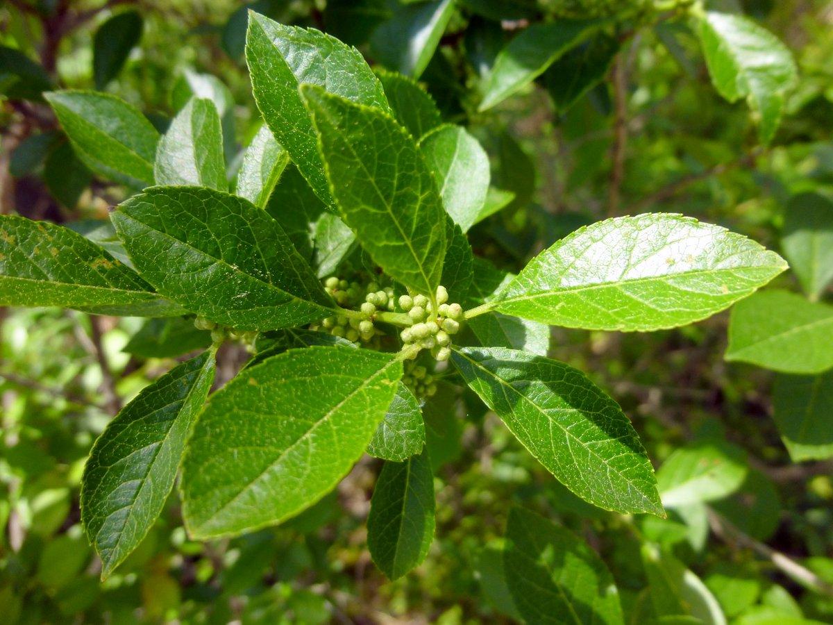 16. Winterberry
