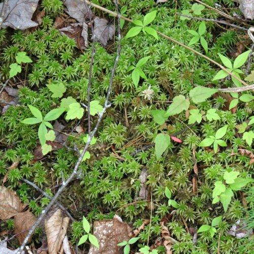 17. Sphagnum Moss