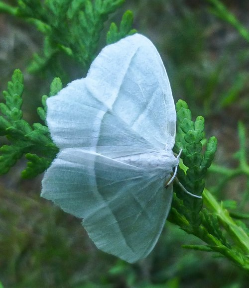2. Pale Beauty Moth aka Campaea perlata