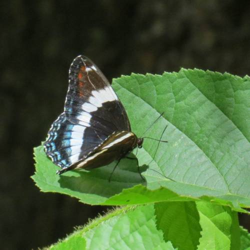 3. White Admiral Butterfly