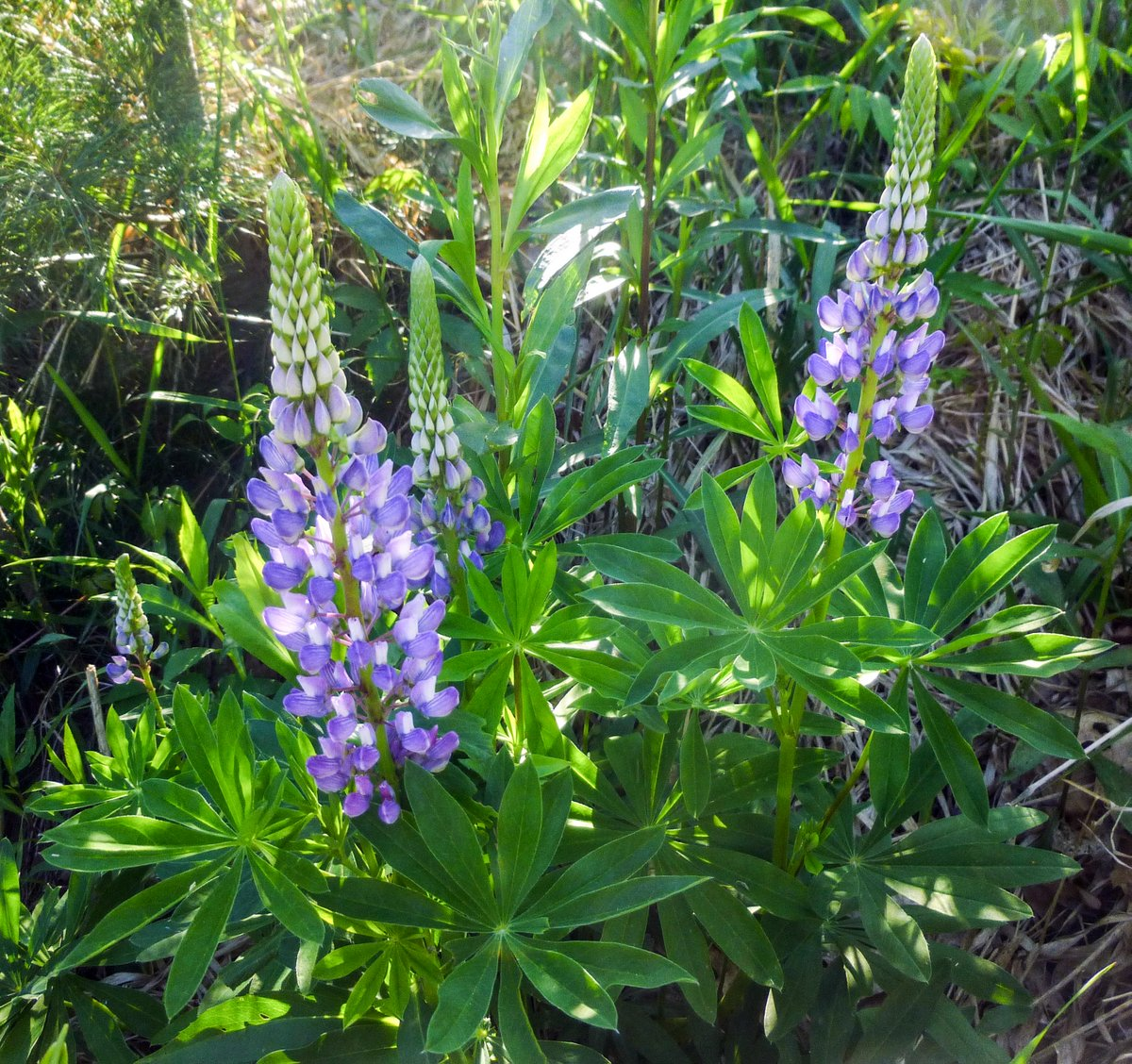 4. Lupines
