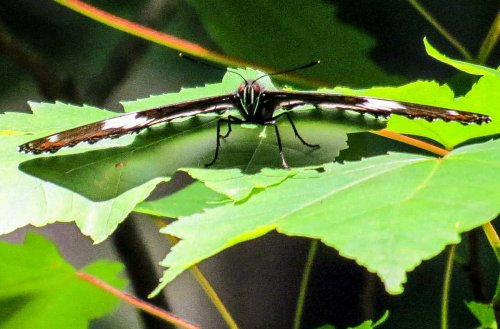 4. White Admiral Butterfly