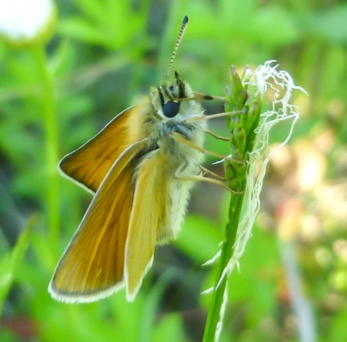 5. European Skipper Butterfly