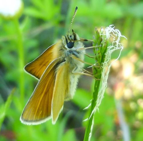 5. European Skipper Butterfly