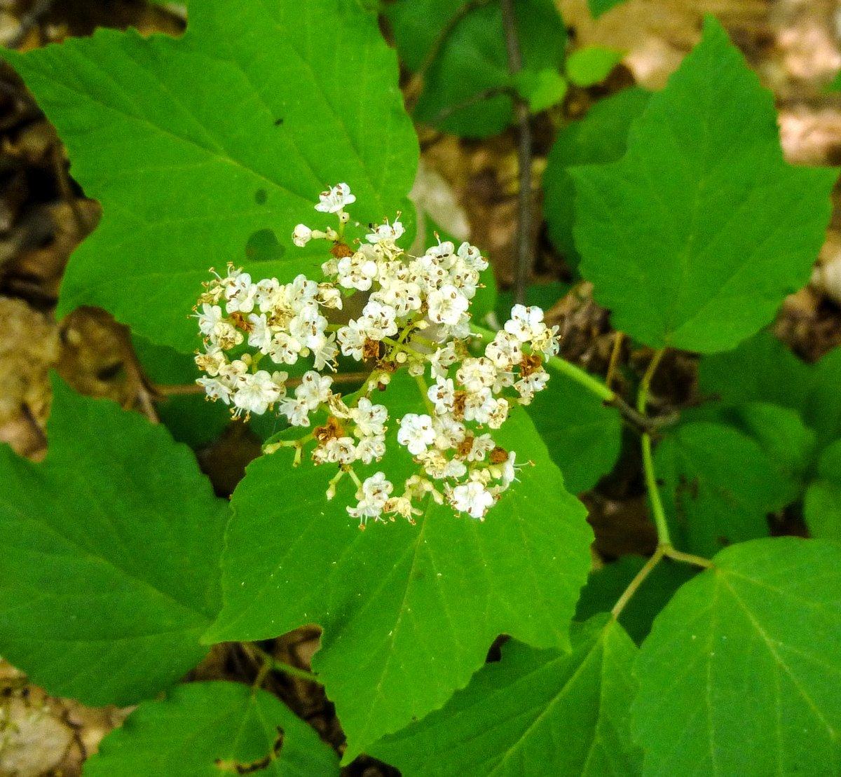 5. Maple Leaf Viburnum