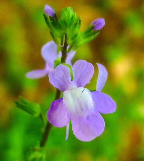 5. Toadflax