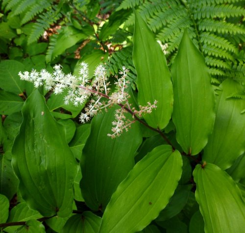 6. False Solomon's Seal