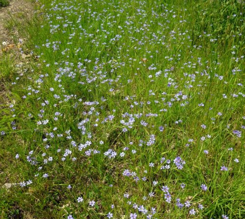 7. Blue Eyed Grass