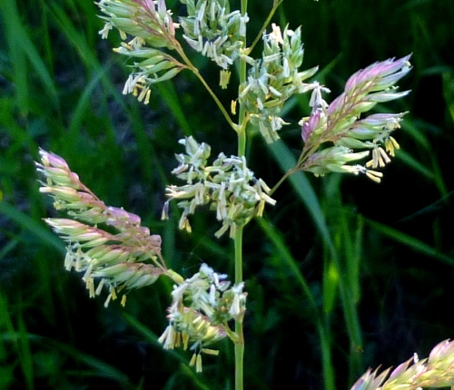 7. Flowering Grass Closeup