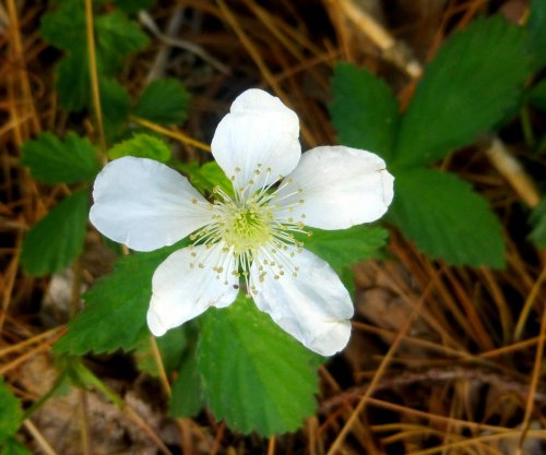 7. Swamp Dewberry aka Rubus hispidus