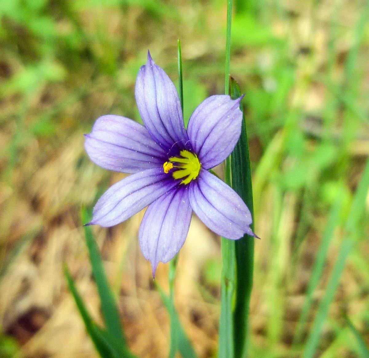 8. Blue Eyed Grass