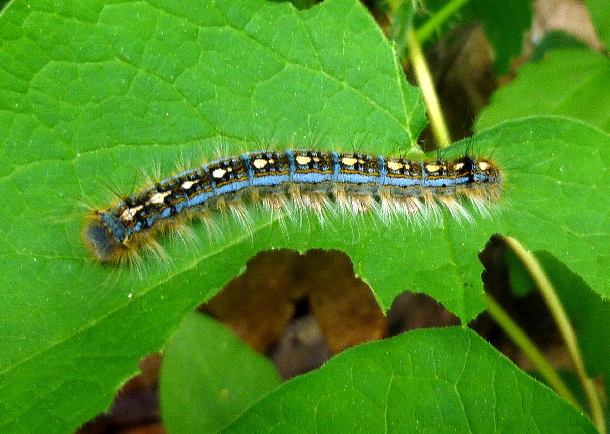 8. Forest Tent Caterpillar