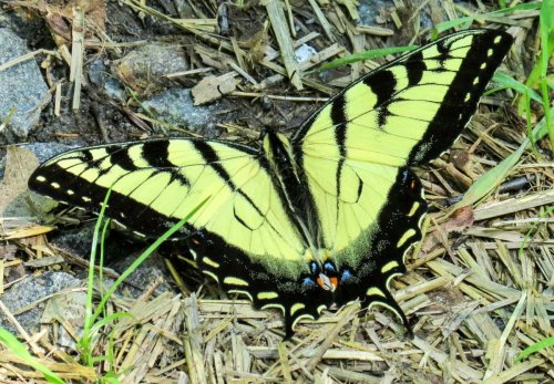 1. Eastern Tiger Swallowtail