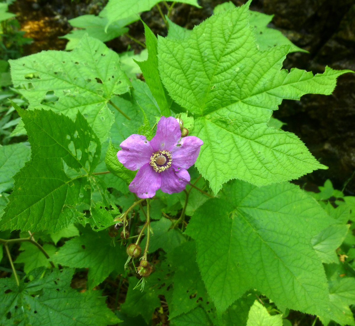Flowering Raspberry New Hampshire Garden Solutions