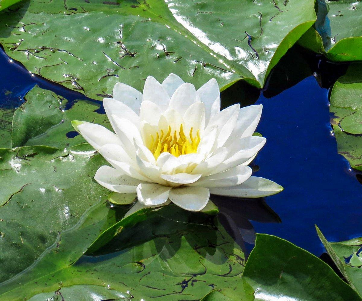 Marsh skullcap new hampshire garden solutions fragrant white water lily izmirmasajfo Gallery