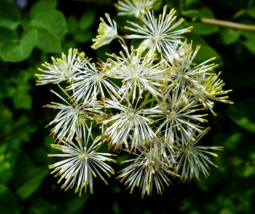1. Tall Meadow Rue