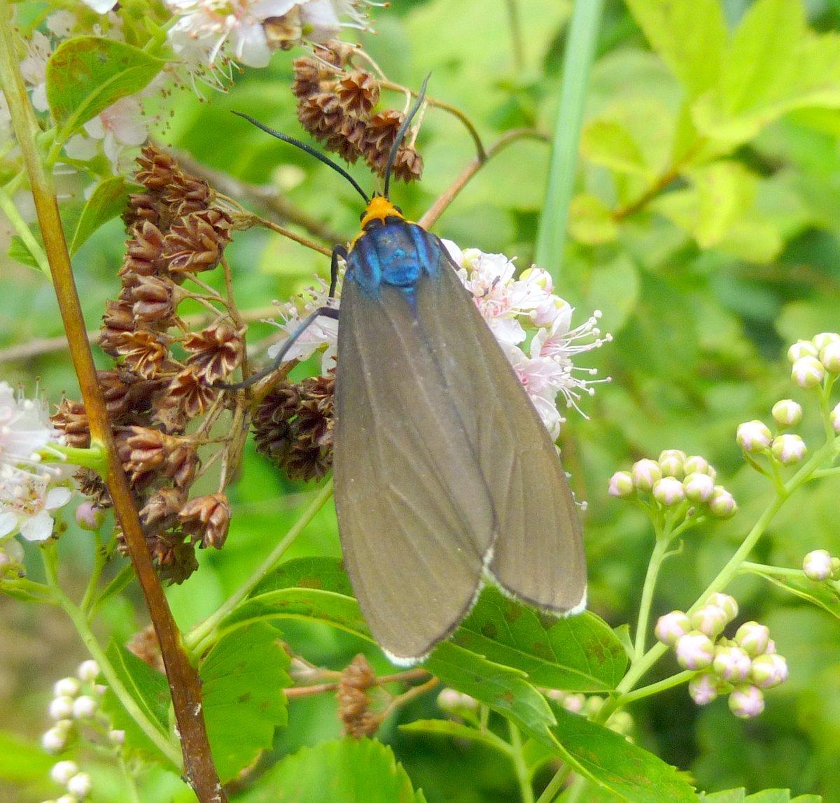 1. Virginia Ctenucha aka Ctenucha virginica moth