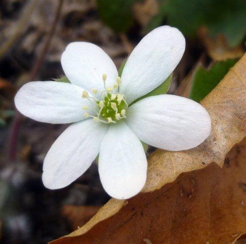 10. White Hepatica