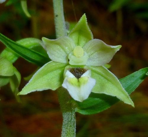 11. Helleborine Orchid