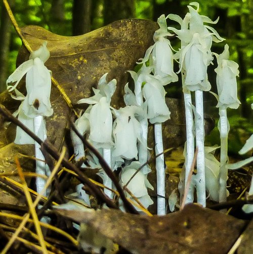 11. Indian Pipes