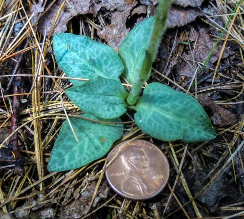 12. Checkered Rattlesnake Plantain Foliage