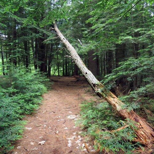 12. Fallen Tree
