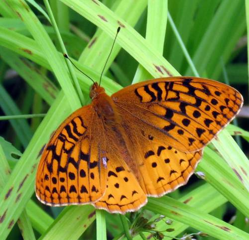 16. Great Spangled Fritillary