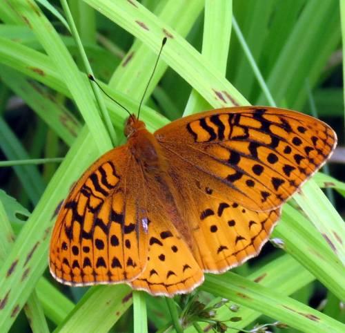 16. Great Spangled Fritillary