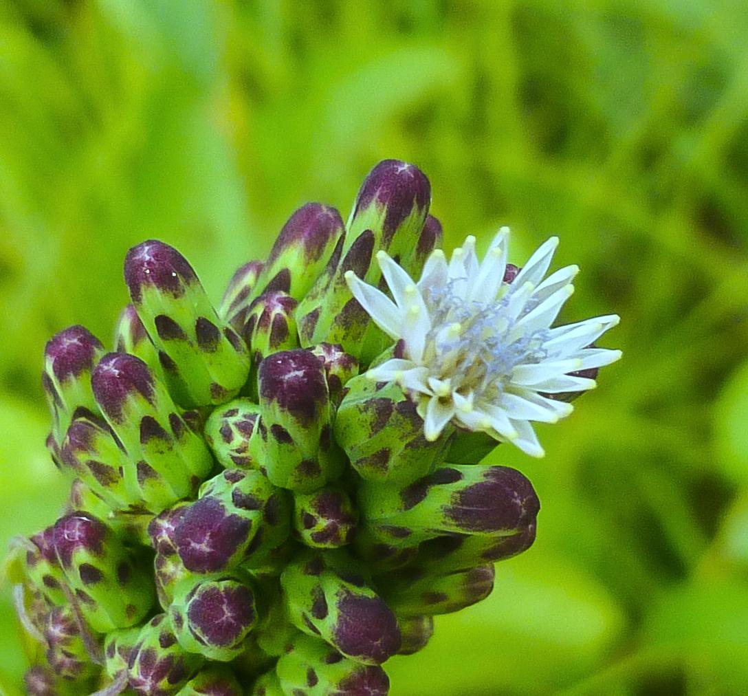 18. Blue Lettuce-2