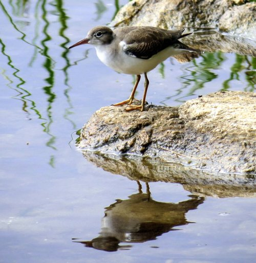 2. Unknown Shorebird