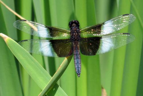 3. Male Widow Skimmer