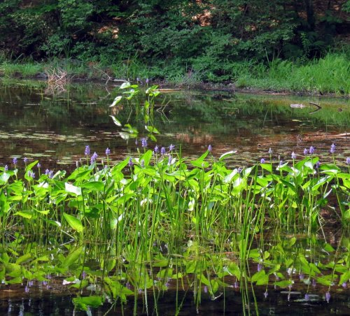 3. Pickerel Weed